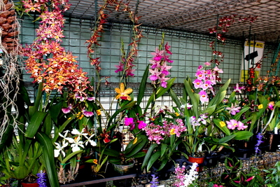 Windemere Orchid Farm on Mount Tamborine Queensland 4272 Windemere is a one stop orchid shop, great gift, flowers, florist, Gold coast,  We grow all types of orchids from Australian Native Orchids, Stanhopea Orchids, Bulbophyllum Orchids, Cattleya Orchids, Cymbidium Orchids, Dendrobium Orchids, Dockrillia Orchids, Phalaenopsis Orchids and many more.We also carry a range of orchid pots, orchid potting mix, and orchid nic nacs. Windemere Orchid Farm Located at Tamborine Mountain approximately 1hr from Brisbane, Windemere Orchid Farm Grows and Sells Orchids Flowering Size Plants, Orchid Flask, Flasking Service, Flask, Seedlings, Deflasking, Compot, Compots, Orchid Laboratory, Orchid Lab, Agar, Mother Flask, Replate, Flask Replate, Plant Clone, Clone, Tissue Culture, Cloning, Whiskey Bottle, Orchid Seed Pod, Dry Seed method, Dry Seed, Orchid Seed, Green Seed Method, Green Seed, Flask Filters, Laminar Flow Cabinet, Flow Hood, Orchid Culture, Orchid Seed Sowing, Seed Sow, Orchid Flower, Orchids in flower, Orchid Nursery, Orchid, Orchids, Orchids On, Down under, Native Orchids, Native, Cooktown Orchid, Cooktown, King Orchid, Sydney Rock Orchid, Aust Orchid, Australian Orchid, Australian Native Orchids, Native Orchid Nursery, Queensland Orchid, Qld Native orchids, Orchids Qld, Orchid Nursery Qld, Orchids Tamborine, Tamborine, Tamborine Village, Orchids Brisbane, Brisbane Orchid Nursery, Lock Orchids, Burbank Orchids, Orchids Are Easy, Easy to grow Orchids, Easy grow orchids, How to grow orchids, orchids in the garden, growing orchids indoor, best orchids, cedarvale orchid, orchid pots, orchid potting, orchid bark, debco orchid bark, aus grow bark, orchid growing mix, medium, how to flask orchids, flasking orchids, about flasking, growing orchids, shade house, orchid shade house, hot house, where to grow orchids, everything about orchids, qld orchid farm, Cymbidium Orchid, Cymbidium Orchid Nursery, Cymbidium Qld, Cymbidium Maddidum, Valley Orchids, Dendrobium orchids, Den orchid, dens, native dendrobium orchids, Hardcane dendrobium, softcane dendrobiums, Dockrillia Orchids, Docks, Native Dockrillia orchids, Queensland native dockrillia orchid, orchid house, Cattleya Orchids, Cattleya, Qld Cattleya Orchids, How to gro Cattleya orchids, QLD GOV orchids, GOV QLD ORCHIDS, Orchid Micropopagation Queensland, Australian Orchid Micropopagation, Australian Orchid Flasking, Bulbophyllum, Qld Bulbophyllum Orchids, Growing bulbophyllums, bulbophyllum Orchid Nursery, Bulbophyllum Orchid Flask, Sarcs, Australian Sarcochilus Orchids, Sarcochilus Orchid, Sarcochilus, Sarcochilus Flask, Sarcochilus Orchid flask, Cattleya Flask, Cattley Orchid flask, Orchid Cork, Orchid Cork Mounts, Cork Mounts, Speciosum Spectacular, Dendrobium Speciosum, Speciosum, specosum orchid, Species Orchids, australian Species orchid, aust orchid, species, ANOS Benleigh, ANOS, ANOS Kabi, Queensland Orchids, orchids au, Orchid Society, Fame Orchids. Bribie Orchid, Canungra Orchid, Logan Orchid, Beaudesert orchids, Logan Village, Tamborine, Yarrabilba orchids, Yarrabilba Nursery, Yarrabilba orchid nursery, Yarrabilba, Oncidiums, Oncidiums Orchids, Stanhopea Orchids, Stanhopea Orchid Nursery, Up side down orchid, Pollinating orchids. Orchid pollinating, pollinating, New Guinea Orchids, Papua New Guinea Orchids in Flask, New Guinea Orchid Nursery Qld, Orchids of New guinea area, Bromeliads, Queensland Bromeliads, Qld Bromeliad nursery, broms, how to grow bromeliads, how to grow from seed, tamborine bromeliads, logan bromeliads, bromeliad seed, dividing bromeliads, bromeliad nursery, bromeliad society, garden clubs, spring time on the mountian, gardening, gardening australia,